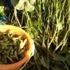 黒豆の枝豆収穫